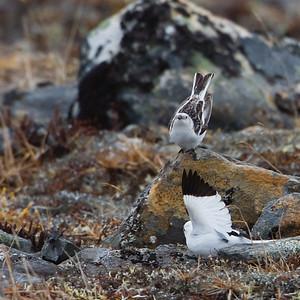 Snow Bunting - Nome, AK, USA