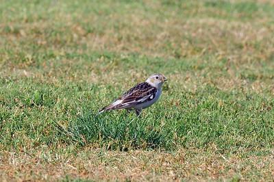 Robb Field-San Diego, CA 05/07/2009 San Diego County's 500th recorded bird species.