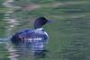 Common Loon (b1307)
