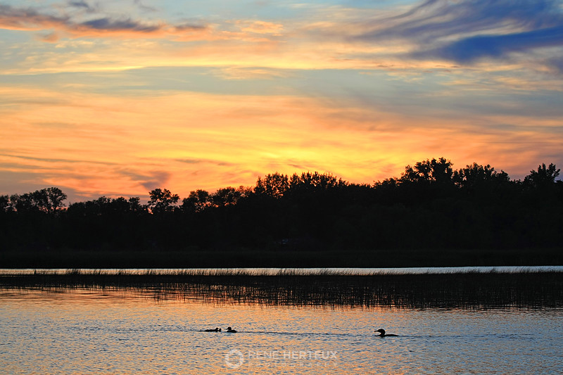 Loon with babies in the sunset
