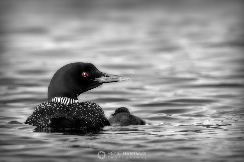 Loon with baby, b&w edition