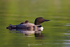 Baby loon rider