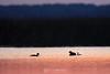 Grebe family at sunrise
