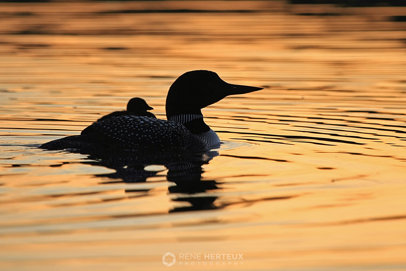 Loon rider silhouette