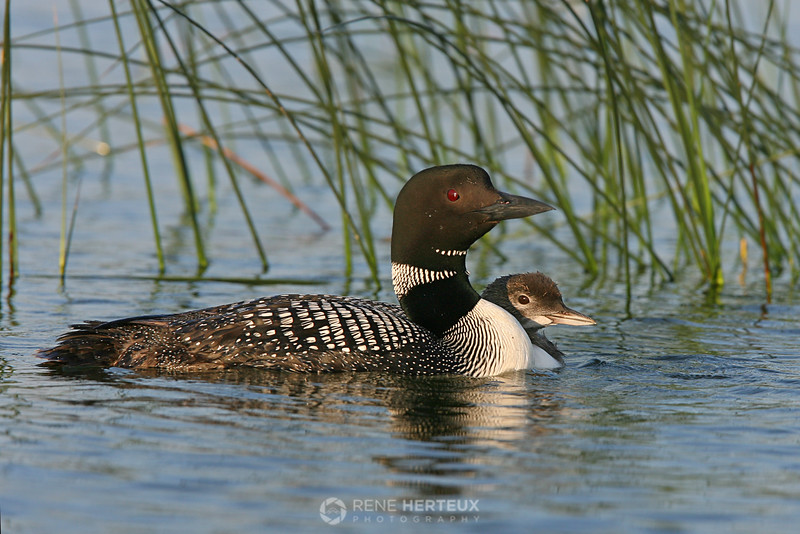 Loon with baby