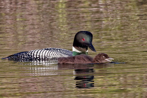Gavia immer <br /> Common Loon, Lac La Jeune, Kamloops, BC Canada