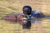Gavia immer <br /> Common Loon, Lac La Jeune, Kamloops, BC Canada