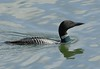 Common Loon: Tokeland, WA (5-2-15)