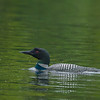 Common Loon, Algonquin Provincial Park, Ontario