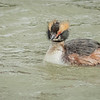 Horned Grebe, Rondeau Provincial Park, Ontario