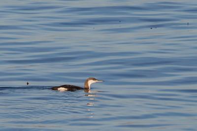 Arctic Loon - Monterey, CA, USA