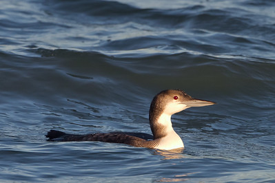 Common Loon - Berkeley, CA