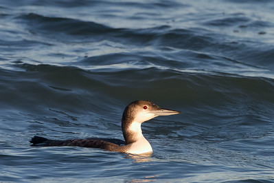 Common Loon - Berkeley, CA, USA