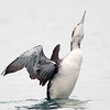 Common Loon Flapping