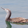 Red throated Loon Winter Plumage