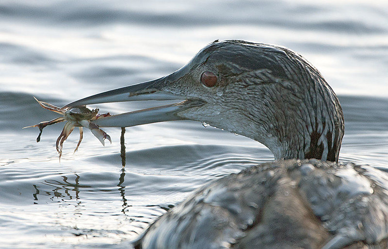 Common Loon with Crab