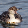 Common Loon Yawning