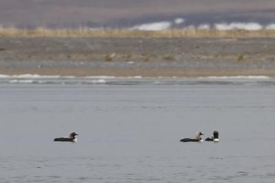 Pacific Loons at Teller, AK, USA