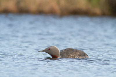 Red-throated Loon - Nome, AK, USA