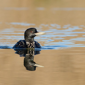Yellow-billed Loon - Sunnyvale, CA, USA