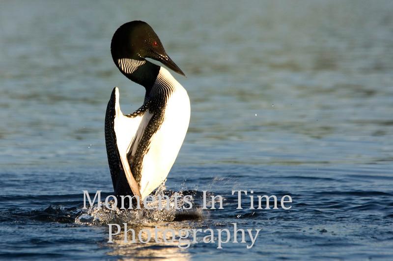 Loon dancing on water 3