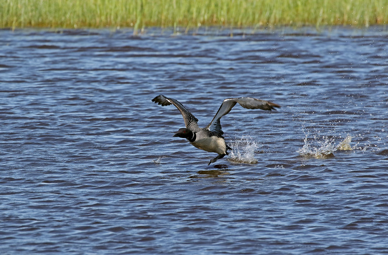 Common Loon Take-Off