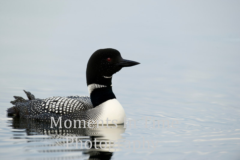 Loon Common
