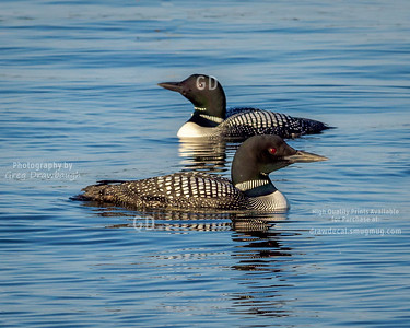 Loons on White Bear Lake
