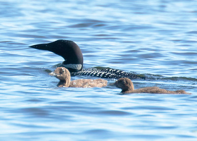Family of Loons