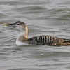 Yellow-billed loon