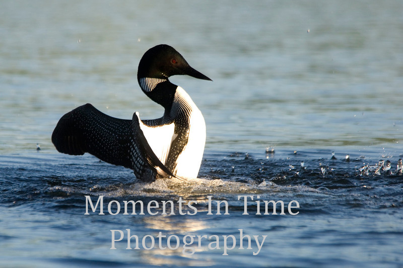 Loon dancing on water 2