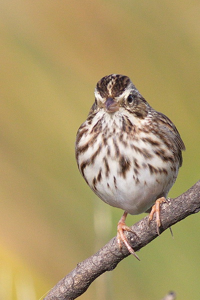 A Savannah sparrow with breast spot.