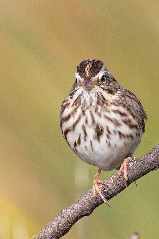 A Savannah sparrow with breast spot.