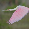 Roseate spoonbill shortly after takeoff.