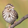 This is a different view of the same Savannah sparrow with the breast spot.