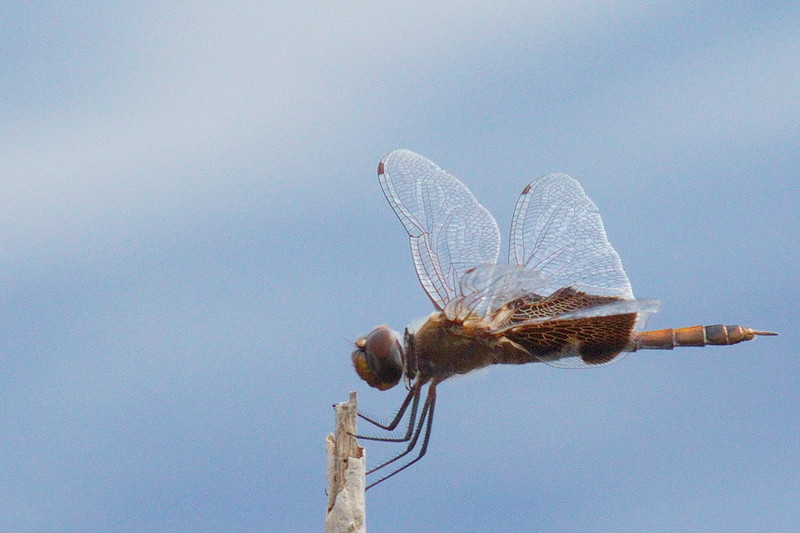 A dragonfly at the MINWR waits for some food to fly by.