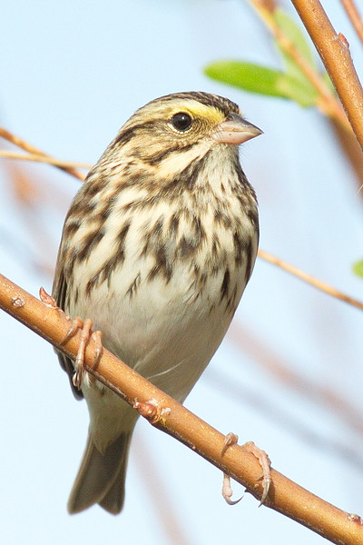 And a third Savannah sparrow. Notice the yellow in the stripe above its eye.