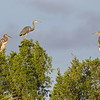 Three tri-colored herons hanging out in the treetops.
