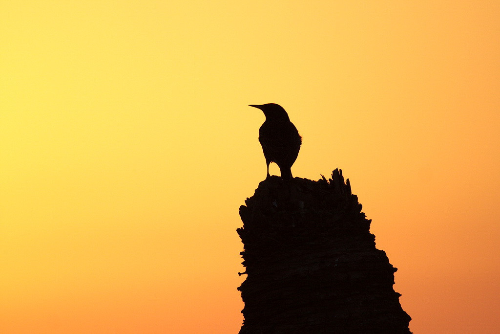 2755 A starling is silhouetted before the warm glow of a peaceful sunset sky.