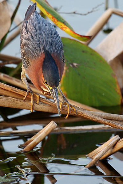 2720 Different restaurants have different seating plans, and different menus. This is a different green heron in a beautiful position to show off its gray (not green!) feathers on its back. This is one of my favorite green heron photos.