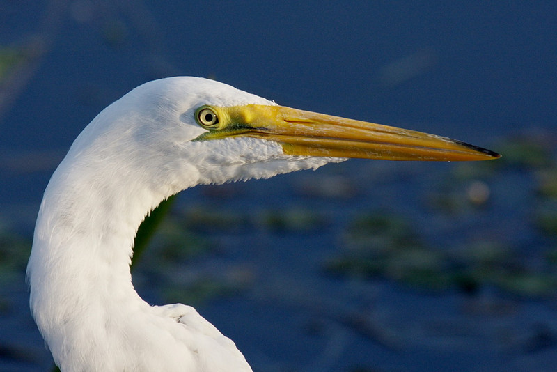 2665 A close-up of a great egret. The light this evening was just wonderful for photography, providing you kept the sun at, or almost at, your back. Here the sun was off my right shoulder, as shown by the shadow cast by this beautiful bird's eye.