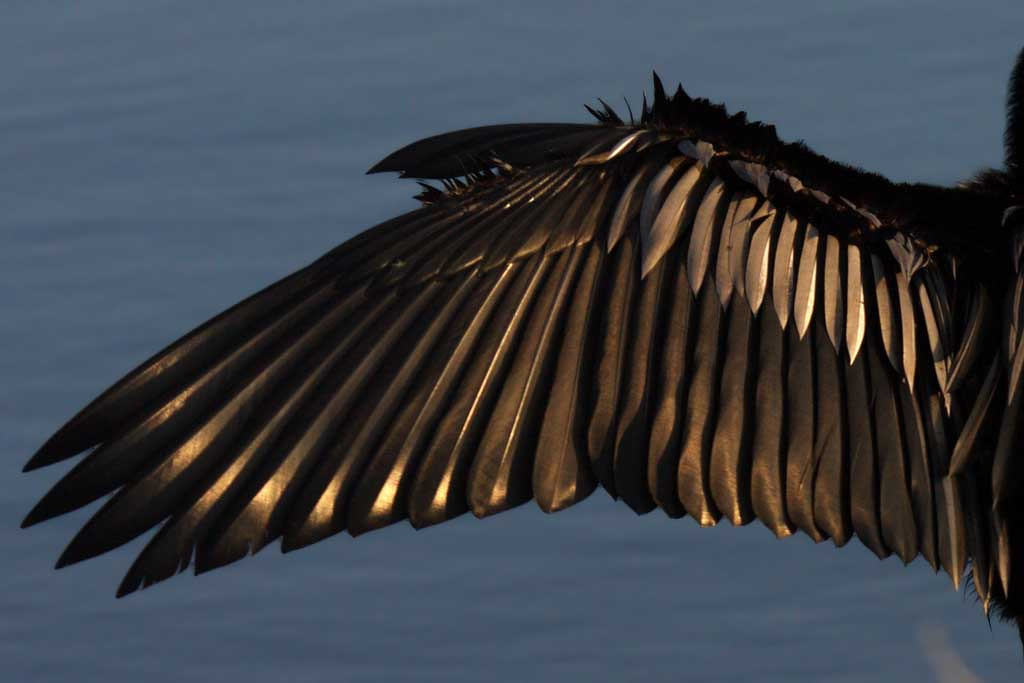 2667 The warm, setting-sun's light sets off the feathers on this anhinga's left wing's upper surface as it spreads its wings to dry them.