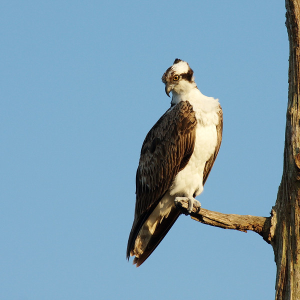 2687 This is probably my favorite shot that I've taken of an osprey. This adult (sexes appear the same) hangs onto the dead branch with only one foot, toes well spread, staring laser-like at something on its menu. Look into that eye, notice the hooked beak, and be glad you're not a fish.
