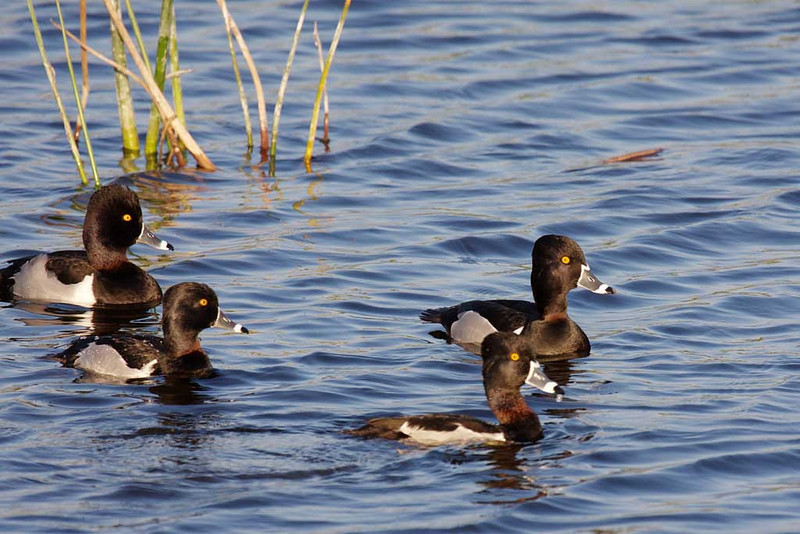 2635 A family of ring-necked ducks. I would guess the adults are on the left and right with two young between them. Their neck rings are faintly visible. And because they are so faint, I would have named these ducks for a more visible feature such as the orange eye or the tri-colored bill. But I'm no ornithologist and nobody asked me, so ring-necked ducks they are.