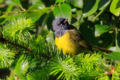 MacGillivray's Warbler (Geothlypis tolmiei)