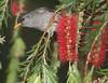 MadagascarBulbul02