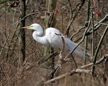 Magnolia - 2012 March 11
