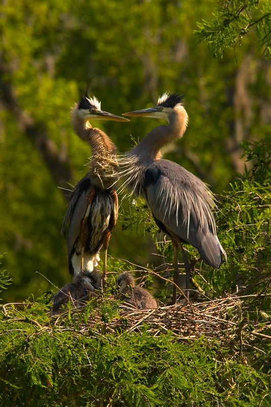 Great Blue Heron parents with chicks