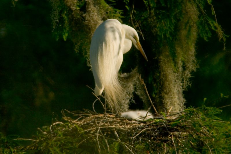 Baby egrets sleeping, mothers keep their watch.