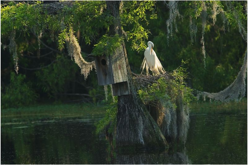 Huffalump Tree